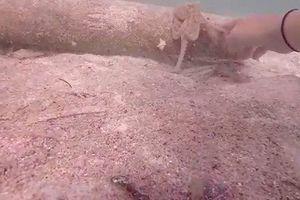Chưa từng thấy con bạch tuộc nào khôn như con này