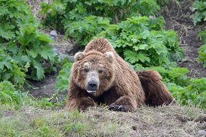 Nga: Gấu đột nhập nghĩa trang, đào bới và tàn phá hơn 20 ngôi mộ