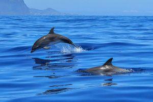 Sóng siêu âm `ma thuật` của cá heo có thể cải thiện kỹ thuật y học hiện tại