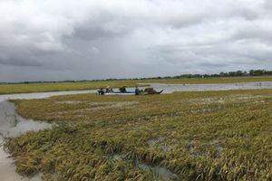 Mưa xuống, lũ lên, hàng trăm hecta lúa bị nhấn chìm trong biển nước
