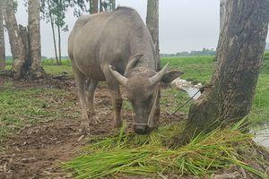 Vụ trâu bò ăn cỏ 'đóng phí': Chủ tịch xã bị kiểm điểm