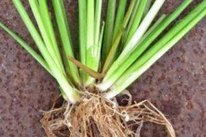 'Thuyết đâm nhánh' mở ra hi vọng cứu cây lúa thoát nạn muỗi hành