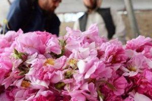 Trồng hoa hồng thay anh túc, dân Afghanistan tận hưởng thành công