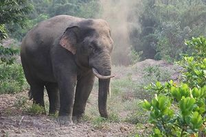 Nạn voi rừng phá hoa màu ở Đồng Nai