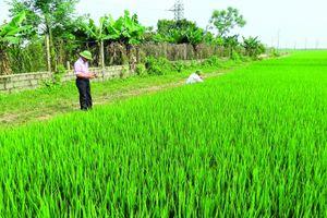 Thái Bình: Hạn chế thiệt hại do dịch bệnh gây ra đối với cây lúa