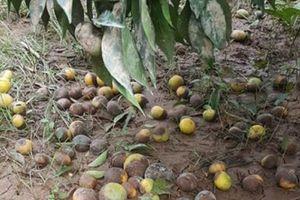 Người dân Cao Phong 'méo mặt' vì vườn cam bị ngập, quả rụng la liệt