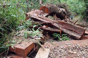 2 đối tượng phá rừng lim ở Quảng Nam ra đầu thú