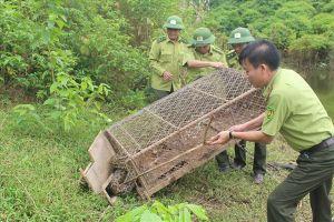 Thả về rừng trăn gấm nặng trên 30kg
