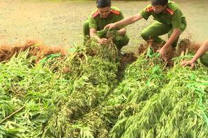 Thuê rẫy để trồng cần sa