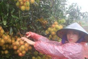 Vùng đất sỏi kỳ lạ: Trồng chôm chôm trái sai muốn gãy cành, ăn ngọt, giòn