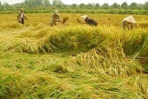 Bồi dưỡng sản xuất lúa VietGAP