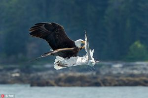 Đại bàng hói săn giết mòng biển trên không