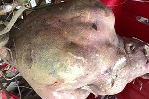Nông dân ở Vĩnh Long đào củ khoai lang nặng 8,5kg