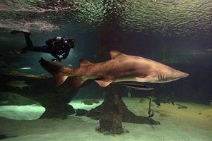 Vụ bắt cóc cá mập gây chấn động