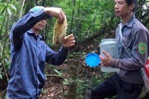 Gian nan hành trình săn mật ong rừng