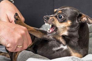 Bị chó cắn, xử lý thế nào để không mắc bệnh dại?