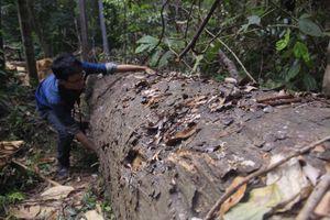Ồ ạt khai thác trái phép rừng tự nhiên lớn nhất Bình Định từ trước đến nay