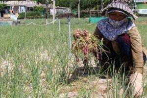 Bệnh thối củ tấn công, nông dân Lý Sơn xót xa nhổ bỏ cả sào hành