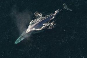 Top 10 loài cá voi dài nhất hành tinh
