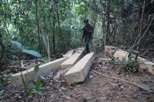 23 cây gỗ giổi cổ thụ ở Bình Định bị đốn hạ vô chủ?