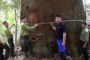 Cận cảnh rừng sa mu dầu thân khổng lồ ở xứ Nghệ