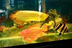 Cá rồng vàng 24k - mốt chơi sang chảnh của đại gia Việt