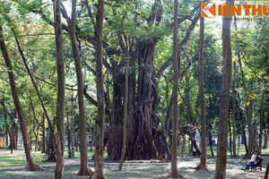Soi cây cổ thụ khổng lồ bí ẩn giữa trung tâm Hà Nội