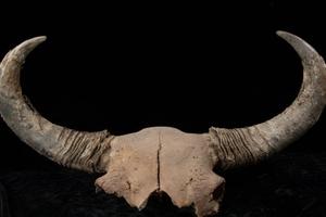 Từ bò rừng, biết thêm về người đầu tiên đặt chân đến châu Mỹ