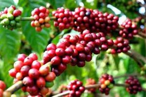 Cây cà phê đối diện nguy cơ tuyệt chủng?