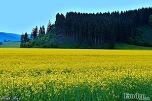 Đẹp mê hồn cánh đồng hoa cải vàng rực ngoại ô Đức