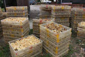Bắt vụ vận chuyển 12.000 con gà giống từ Trung Quốc về Việt Nam