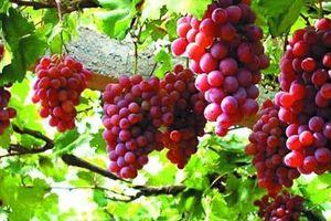 Kỹ thuật trồng và chăm sóc giàn Nho cho quả sai trĩu cành