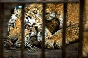 Rớt nước mắt với hình ảnh thú bị ngược đãi trong các gánh xiếc
