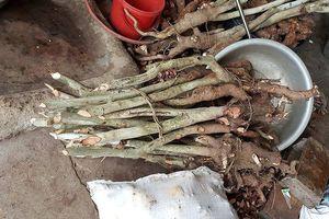Dân đổ xô vào rừng đào gốc trà hoa vàng để bán