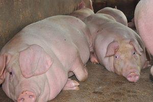 Sự thực ở các trại lợn: Nông dân cùng cực, lợn đói chờ chết