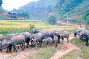 'Đầu cơ nghiệp' của nông dân Nà Hang