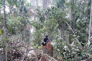 Bắt 5 đối tượng phá rừng tại công ty Lâm nghiệp