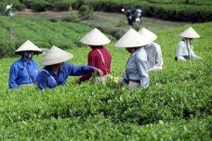 Tuyên Quang tổ chức lại sản xuất, chế biến chè