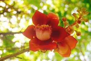 Du khách thích thú ngắm hoa Sala khoe sắc ở chùa Thiên Mụ