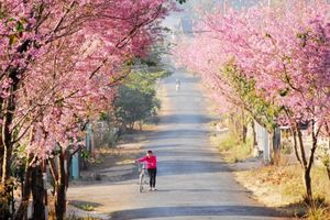 Sẽ tổ chức Lễ hội hoa anh đào tại Đà Lạt