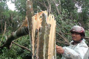 Bão qua, nhà nông xơ xác: Người trồng cao su thiệt hại nặng
