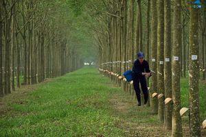 Chăm bón cây cao su bằng phân đa yếu tố NPK Văn Điển