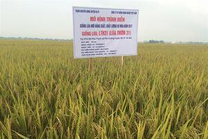 Giống lúa chất lượng cao LTh31 gieo cấy thành công ở các tỉnh phía Bắc