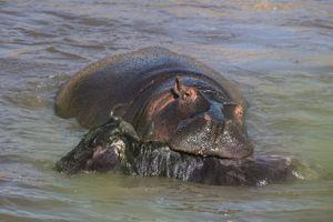 Ảnh động vật tuần: Hà mã giết linh dương, khỉ kiếm ăn ở sông ô nhiễm...