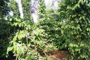 Đắk Lắk: Công ty sản xuất và kinh doanh cà phê 'khốn đốn' vì sự coi thường pháp luật của người dân