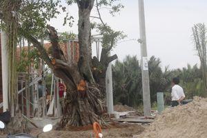 Vụ ngang nhiên bứng cây cổ thụ của làng: Điền Phúc Thành 'nuốt' không trôi phải trả lại cây cho dân