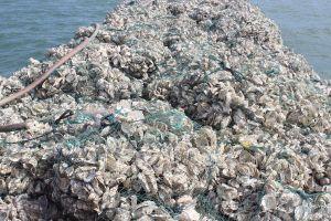 Quảng Ninh: Bắt giữ 15 tấn vỏ Hàu cấy giống nhập lậu