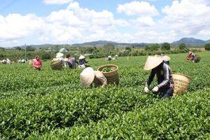 Phát triển chè bền vững phải gắn với nông nghiệp sạch