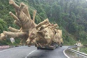 Đã xác định được nguồn gốc cây 'khủng' còn lại bị bắt ở Huế