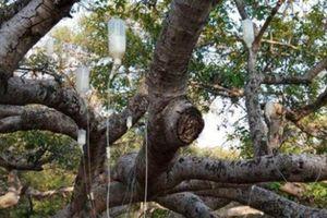 Kỳ lạ, cây cũng được trị bệnh bằng cách 'truyền dịch'